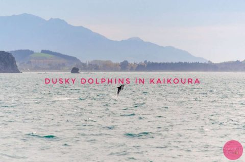 Dusky Dolphin in Kaikoura Blog
