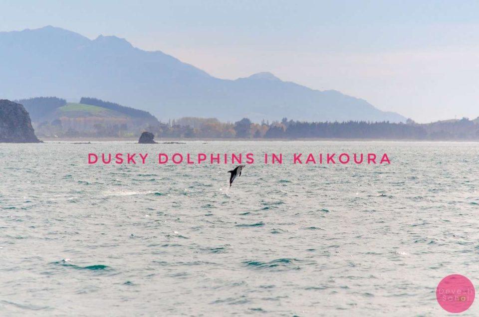 Adorable, Playful, Dusky Dolphins In Kaikoura