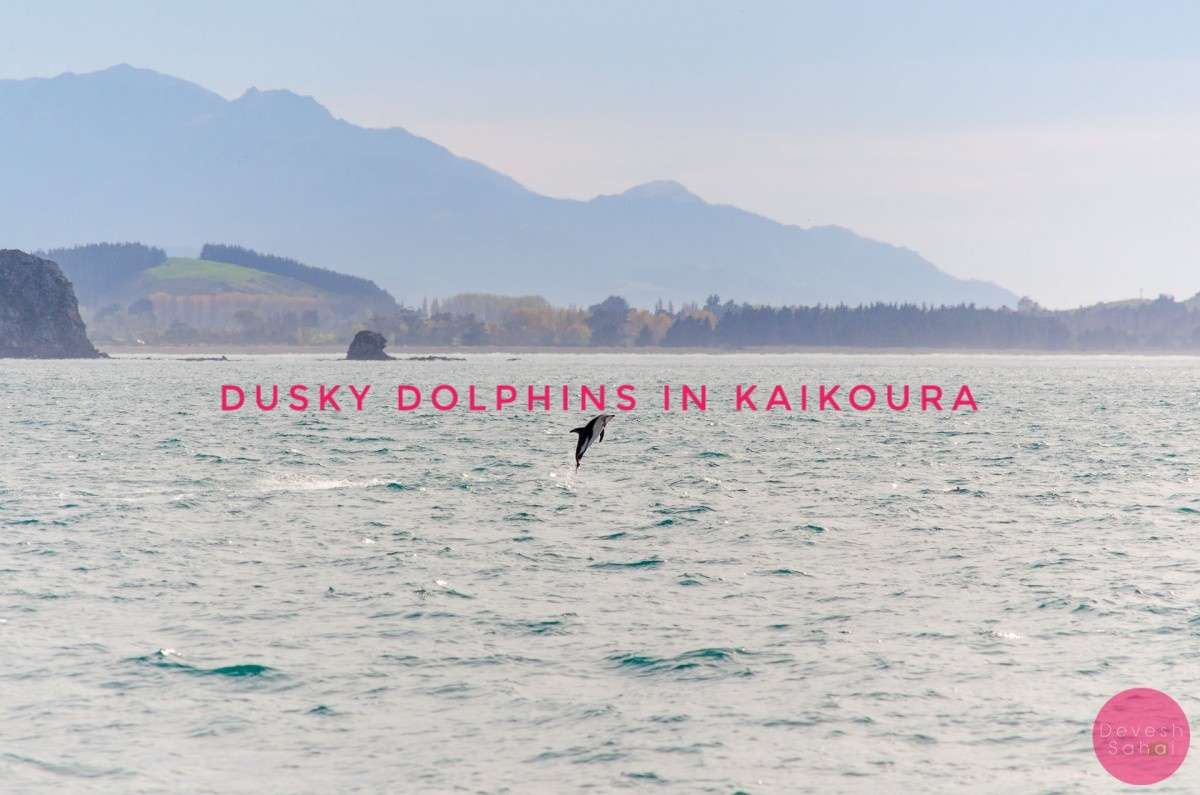 Adorable, Playful, Dusky Dolphins In Kaikoura