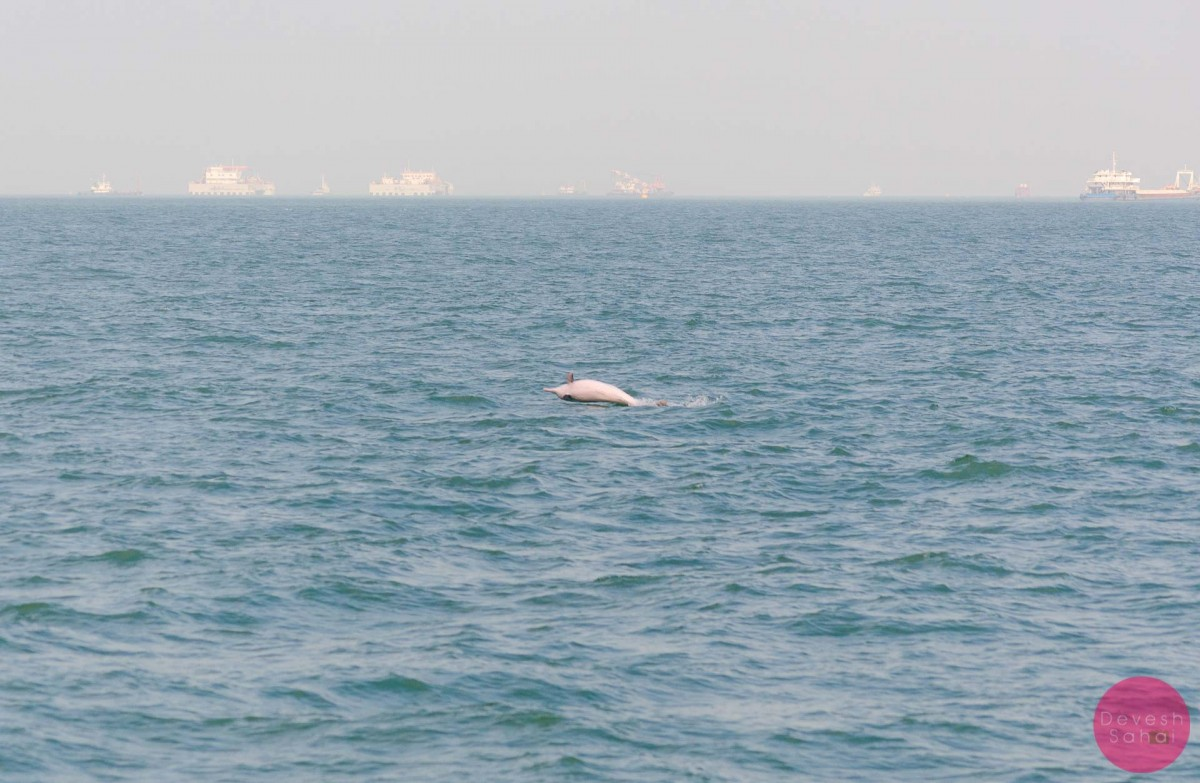 pink dolphin jumping in the water near taio hong kong