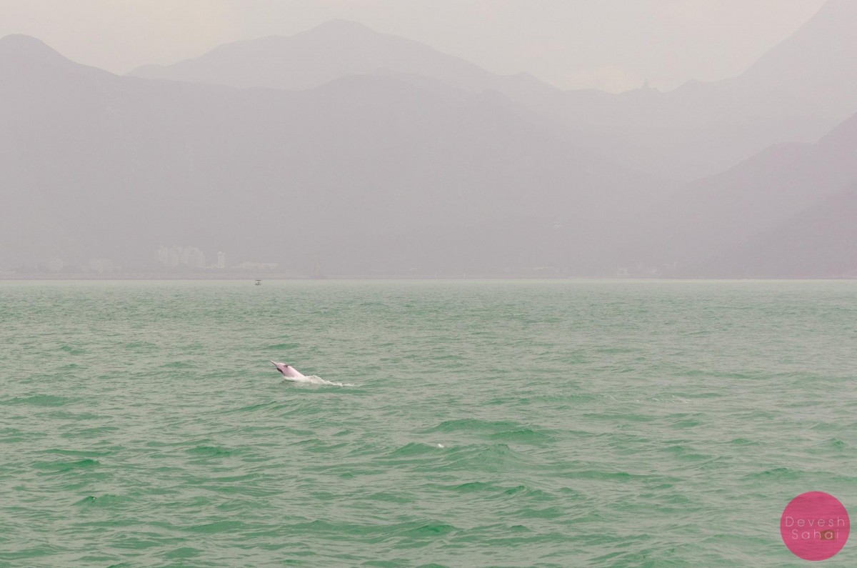 see pink dolphin in hong kong