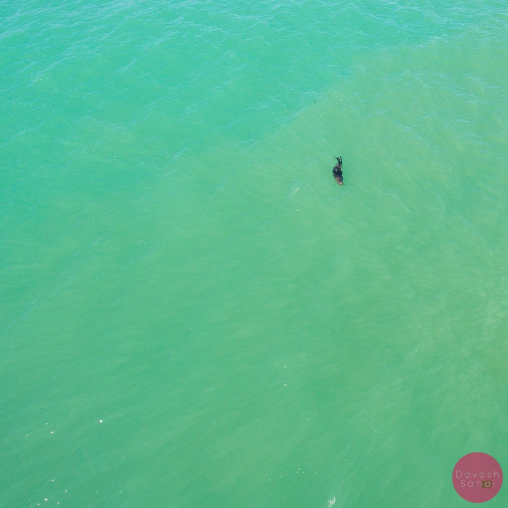 Lone seal rolling in the water