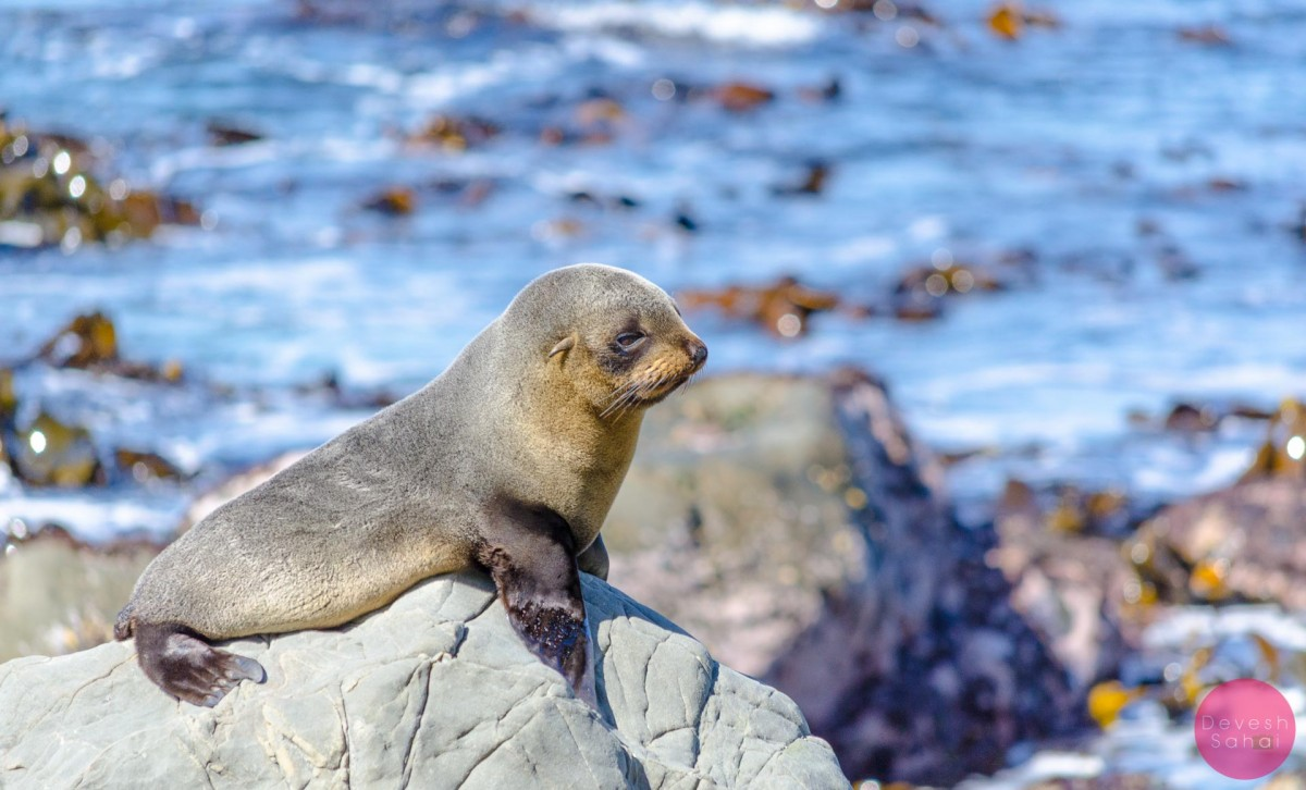 Seal Colonies In Kaikoura, New Zealand - Drone & DSLR Travel Blog