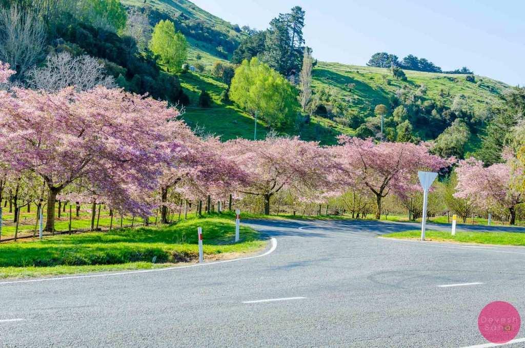 Cherry blossom farm, on the way to Akaroa from Lake Forsyth