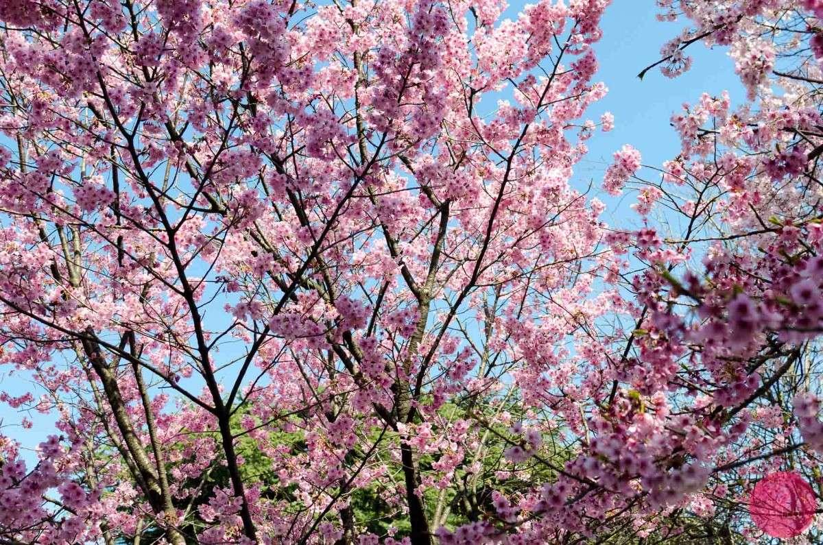 Up close with the sakura