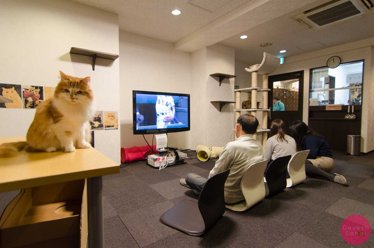 Visiting A Cat Cafe In Tokyo Drone Dslr Travel Blog