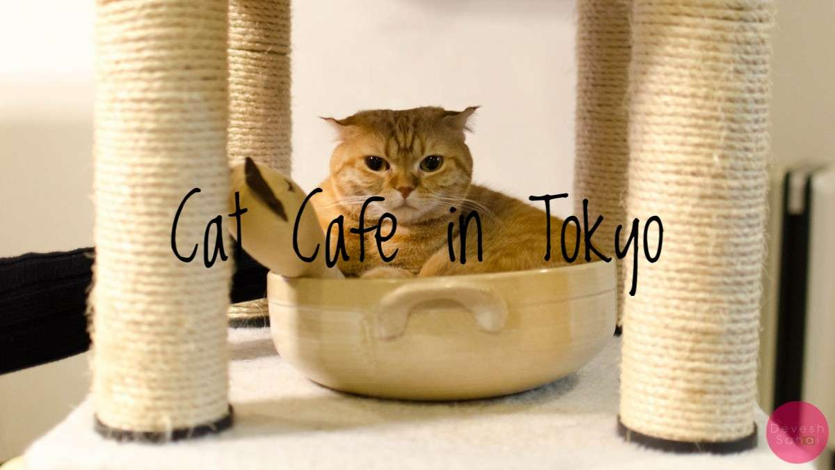 Visiting A Cat Cafe In Tokyo