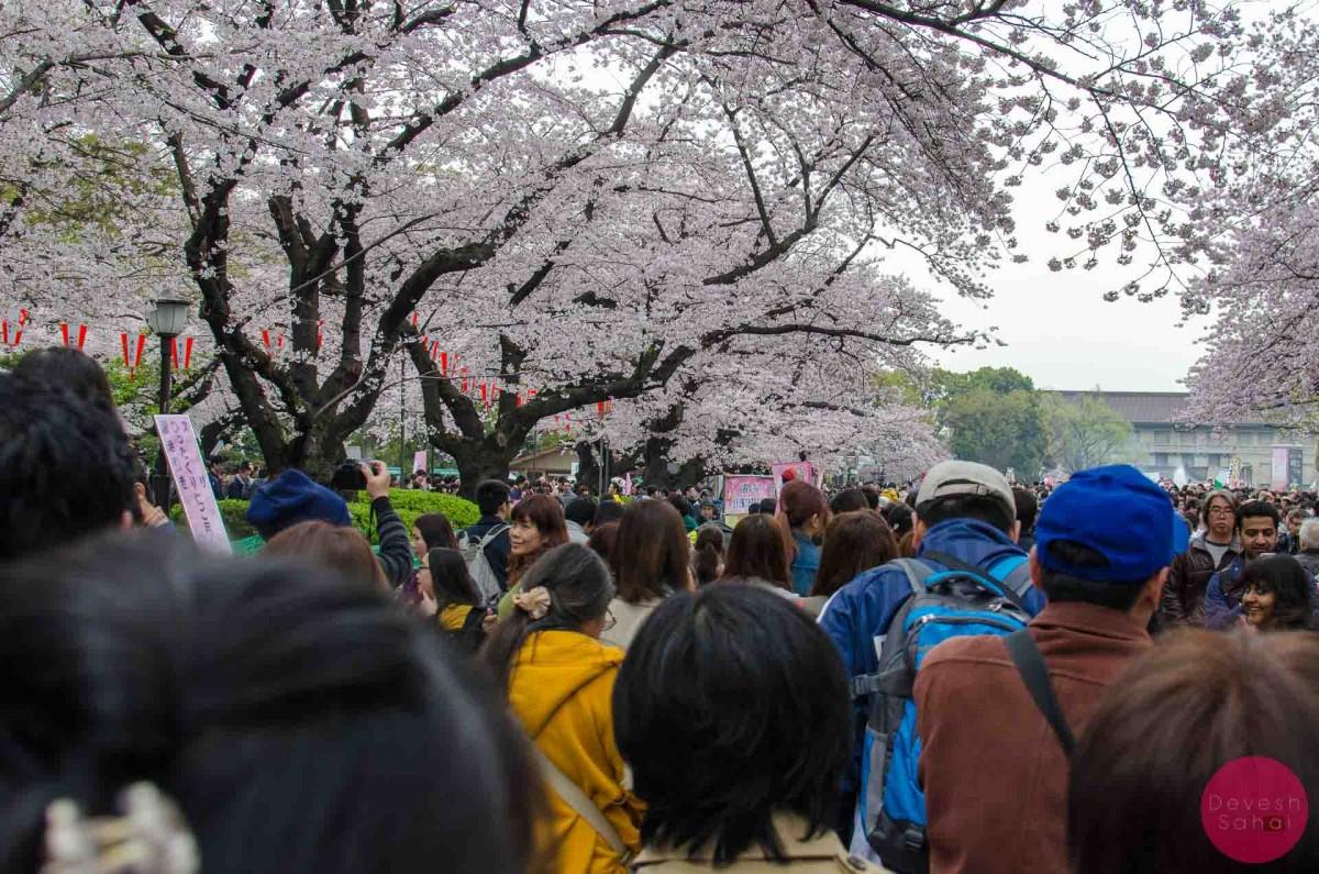 Sakura In Full Bloom In Ueno Park, Tokyo