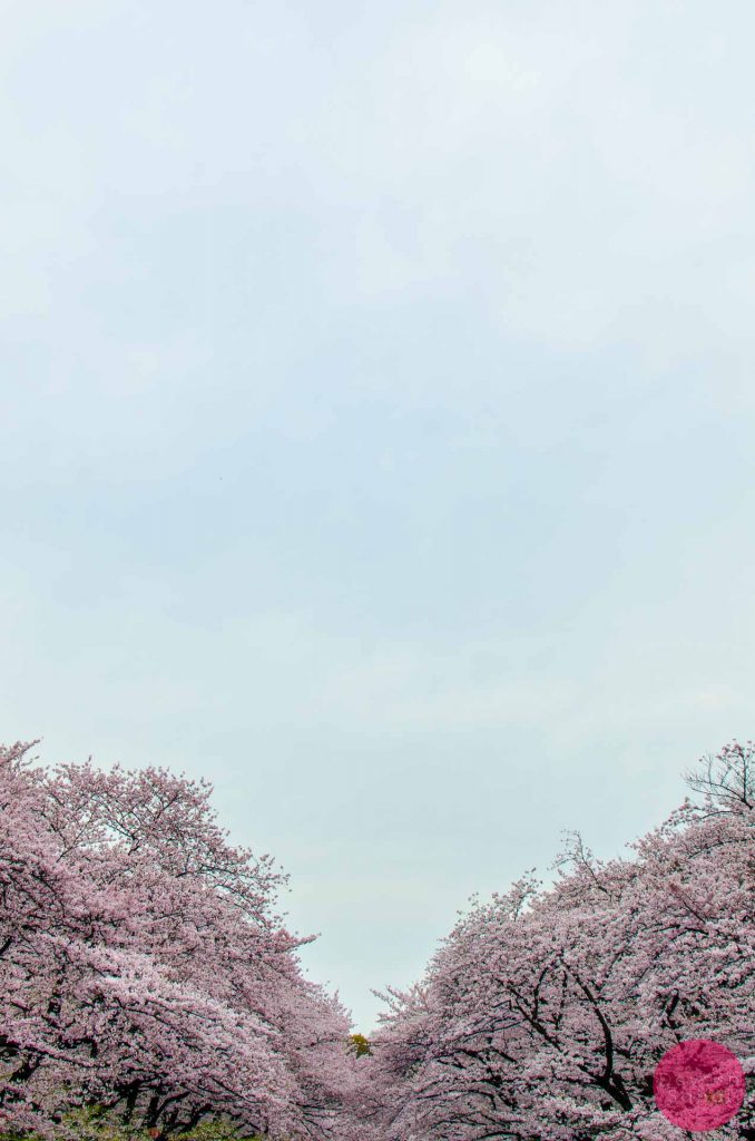 Sakura at Ueno Park, Tokyo
