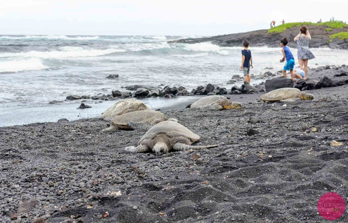 Volunteers build a rock wall to keep people away from the turtles