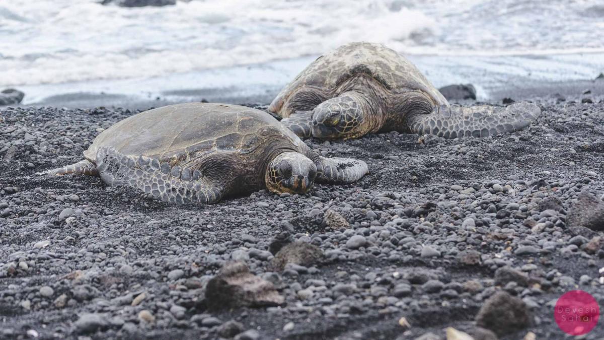 honus sleeping on punaluu black sand beach big island hawaii