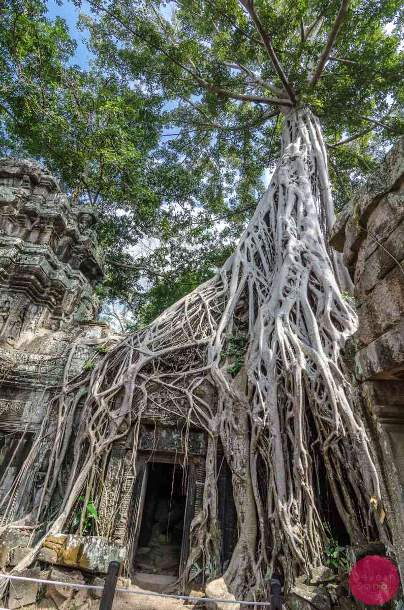 famous tomb raider tree at ta phrom