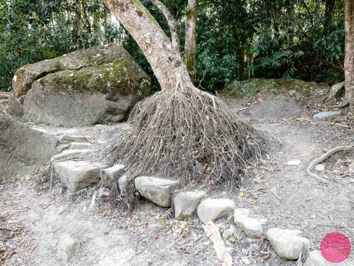 chinese banyan tree with exposed roots