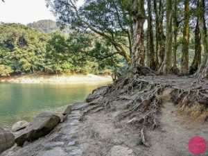 trees with exposed roots next to water