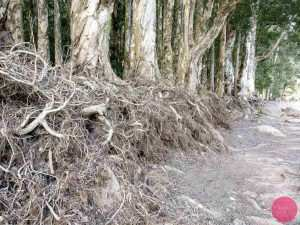 exposed roots of chinese banyan trees