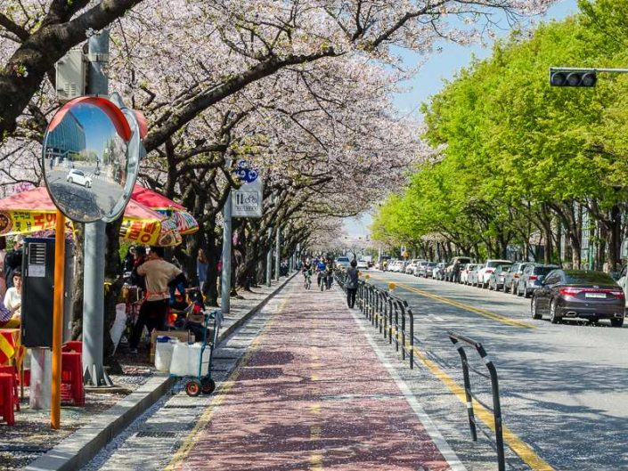 cherry blossom full bloom yeouido seoul