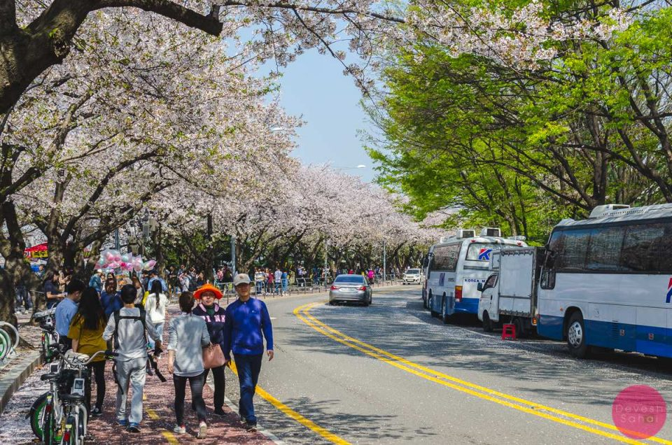 Yeouido Park – Cherry Blossom Heaven In Seoul