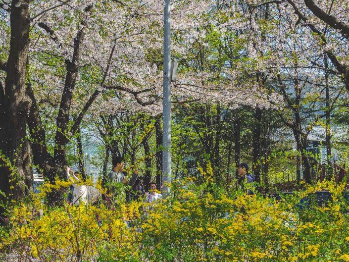 cherry blossom full bloom yeouido park seoul