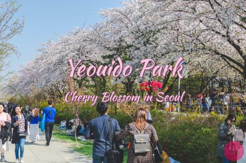 Yeouido Park - Cherry Blossom Heaven In Seoul