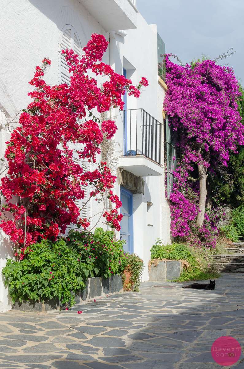 bougainvillea colourful summer cat cadaques