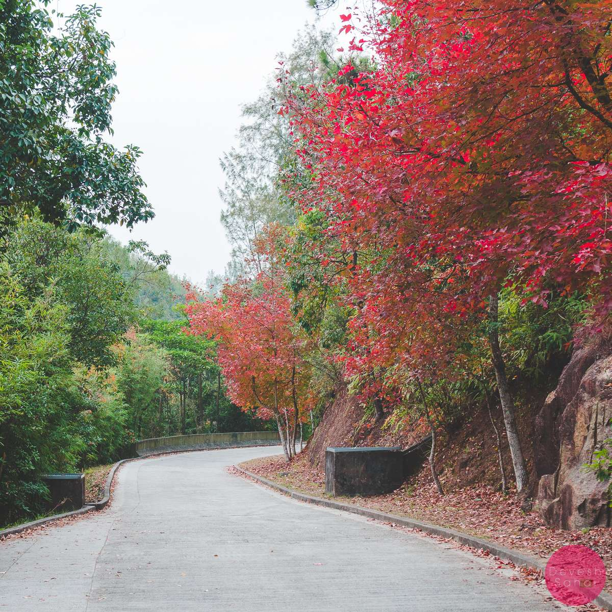 The Red Leaves Of Sweet Gum Woods Tai Tong Hong Kong Hk A Rare Lonely Path At