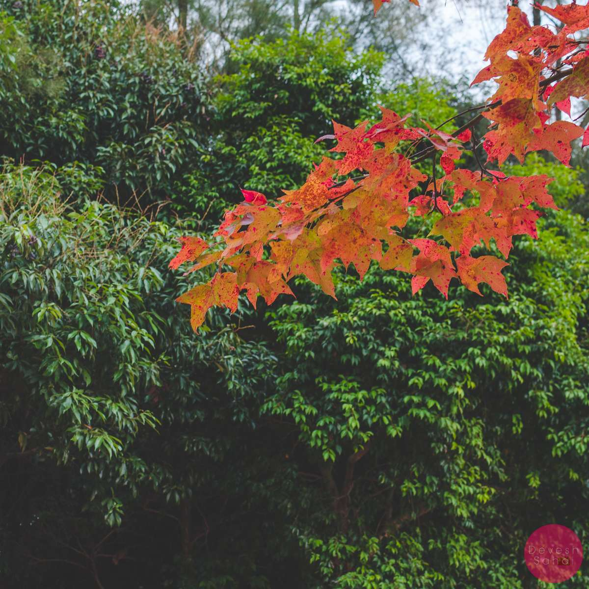 The Red Leaves of the Sweet Gum Woods, Tai Tong, Hong Kong