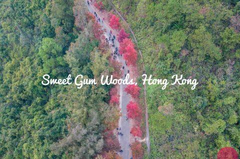 Sweet Gum Woods, Tai Tong, HK blog