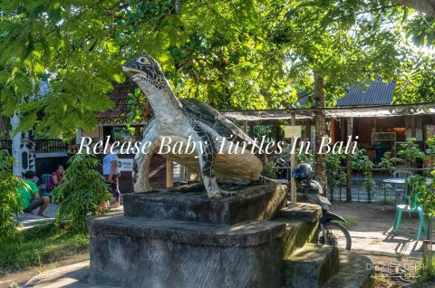Release Baby Turtles in Bali blog