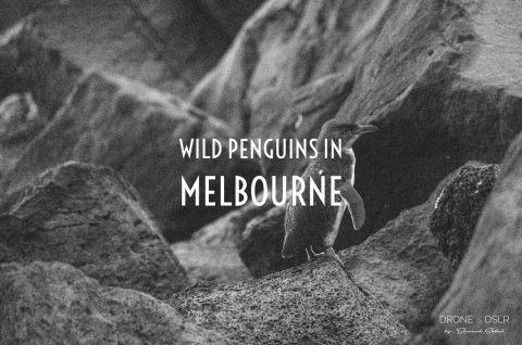 See Wild Penguins in Melbourne blog
