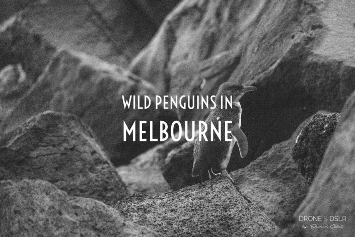 See Wild Penguins In Melbourne