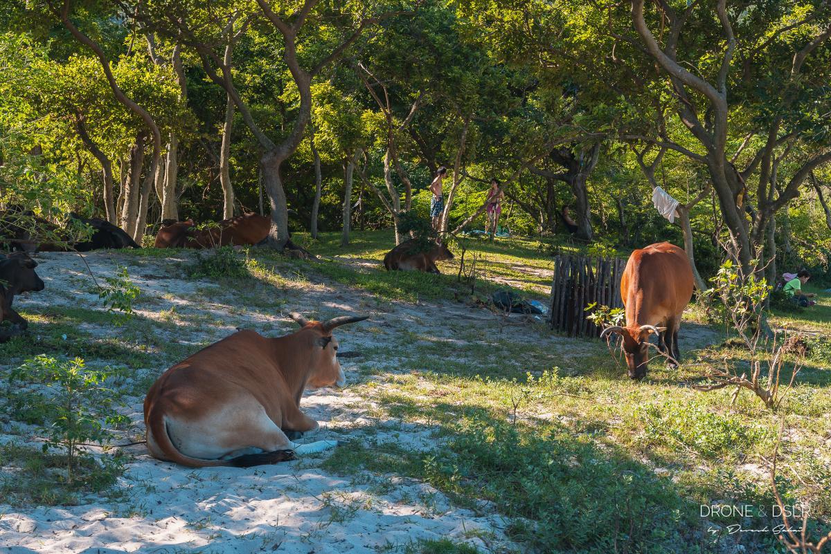 long ke wan cows