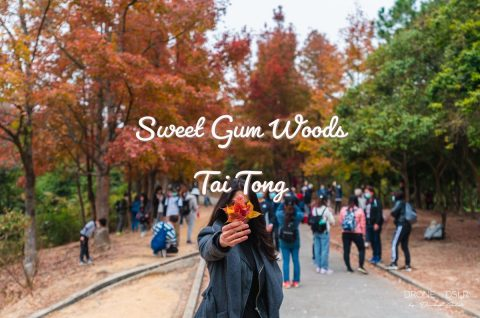 Sweet Gum Woods, Tai Tong Blog